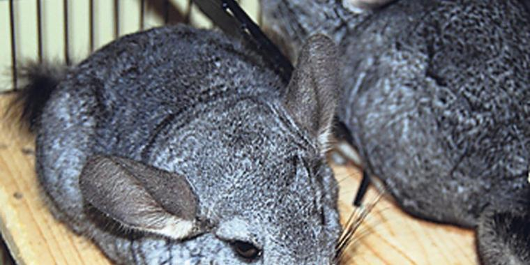 Nagetiere: Chinchillas.