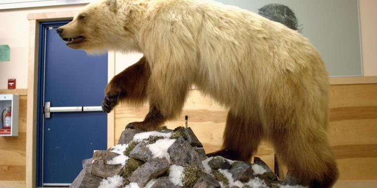 "Ein ausgestopfter ""Pizzly"", drei Viertel Grizzly und ein Viertel Polarbär, steht in der Community Hall in Ulukhaktok, Northwest Territories, Kanada."