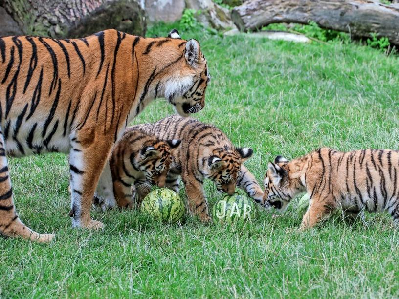 Tigerbaby-Taufe im Zoo Hannover