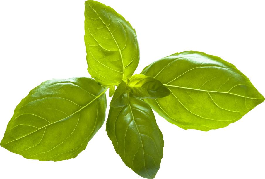 a sprig of basil leaves isolated on white background