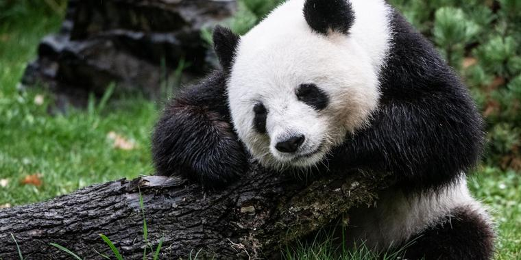 Pandabärin Meng-Meng sitzt in ihrem Gehege im Zoo.